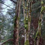 Strom ve Vlčí jámě